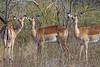 Impala<br /> Kruger National Park, South Africa
