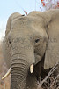 African Elephant<br /> Kruger National Park, South Africa