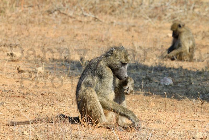 Savanna Baboons (foraging)<br /> Kruger National Park, South Africa