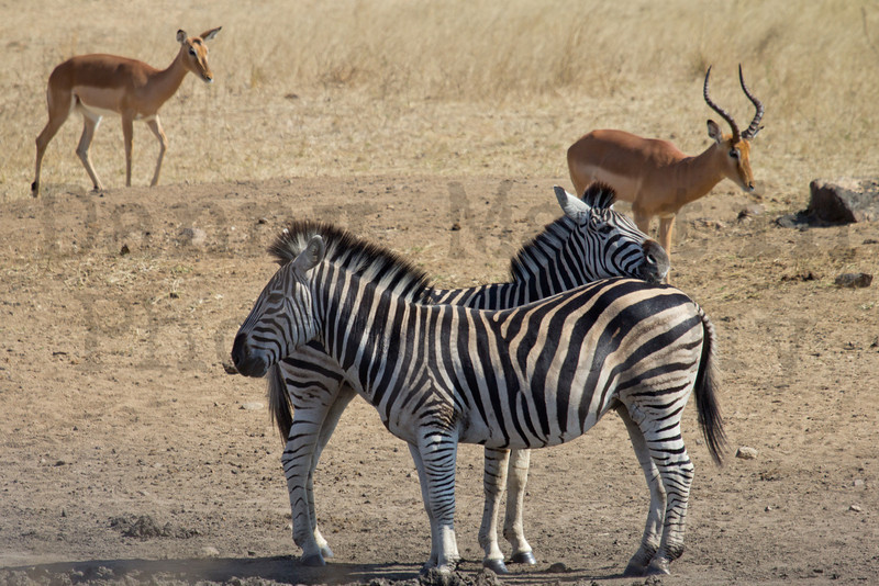 Plains Zebras & Impala<br /> Kruger National Park, South Africa