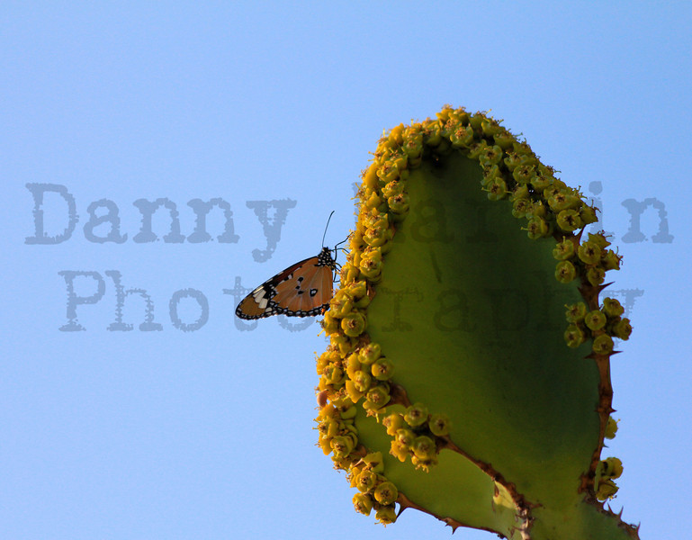 African Monarch Butterfly on euphorbia.  Kruger National Park, South Africa.