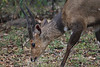 Bushbuck<br /> Kruger National Park, South Africa