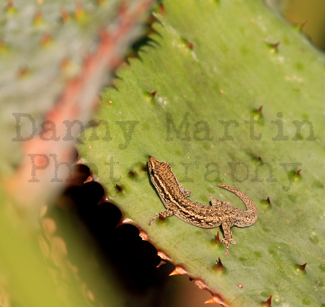 gecko.  Kruger National Park, South Africa, Common Dwarf Gecko,