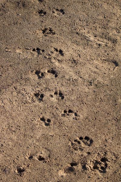 Hippopotamus tracks on river bank<br /> Kruger National Park, South Africa