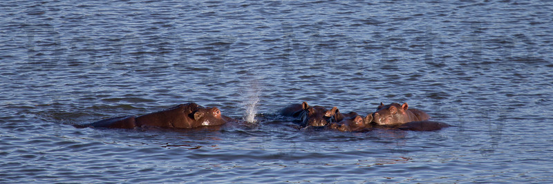 Hippopotamus<br /> Kruger National Park, South Africa
