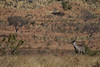 Waterbuck<br /> Kruger National Park, South Africa