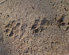 Hyena tracks in the sand.