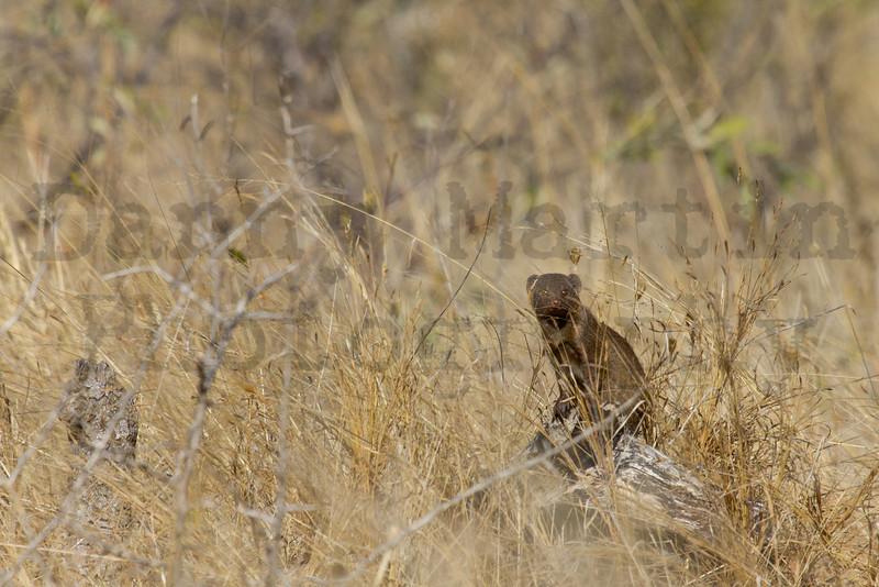 Slender Mongoose<br /> Kruger National Park, South Africa