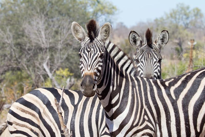Plains Zebra<br /> Kruger National Park, South Africa