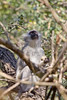 Vervet Monkey<br /> Kruger National Park, South Africa