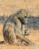 Savanna Baboon (foraging)<br /> Kruger National Park, South Africa