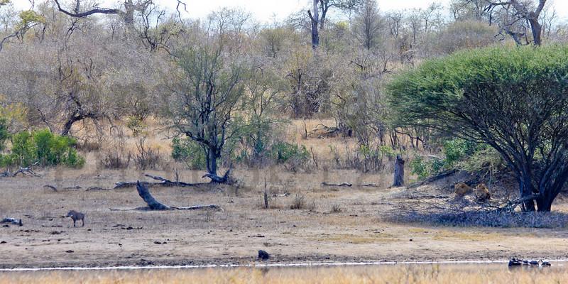 Lions & Warthog<br /> Kruger National Park, South Africa