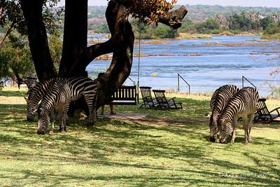 Zebra grazing on the lawn at the Royal Livingstone Hotel beside the Zambezi River