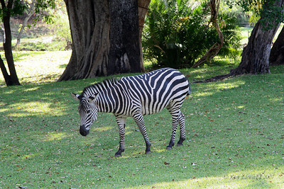 Zebra grazing on the lawn at the Royal Livingstone Hotel beside the Zambezi River