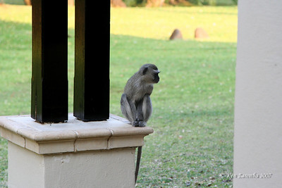 Black Vervet Monkey looking for an opportunity to get inside a room at the Royal Livingstone Hotel