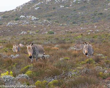 Zebra - Cape Mountain