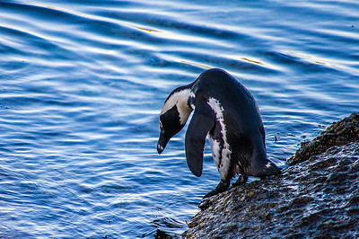 Penguin, Simon's Town, South Africa