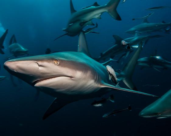 Oceanic Blacktip Shark (Carcharhinus limbatus)