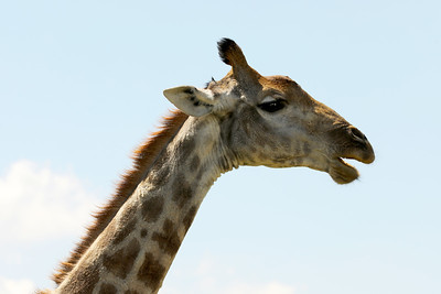 Giraffe, Pilanesberg National Park, South Africa
