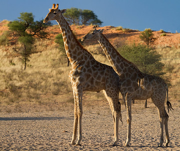 Giraffes and dunes, Kalahari Desert