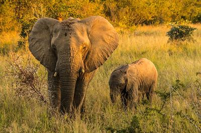 Elephants, Kapama