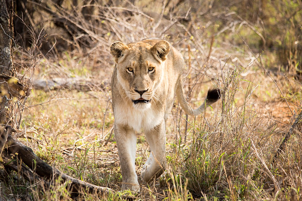 Hungry Lioness, Tanda Tula, Timbavati Game Reserve, South Africa