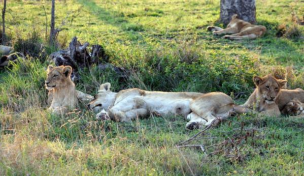 Lions in the Kruger Park (Sabi Sand)