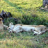Lions in the Kruger Park (Sabi Sand)