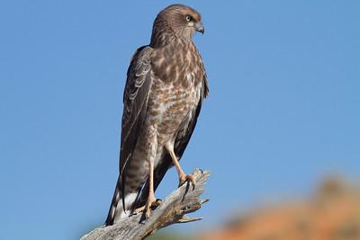 Juvenile Pale Chanting Goshawk, Kalahari Desert