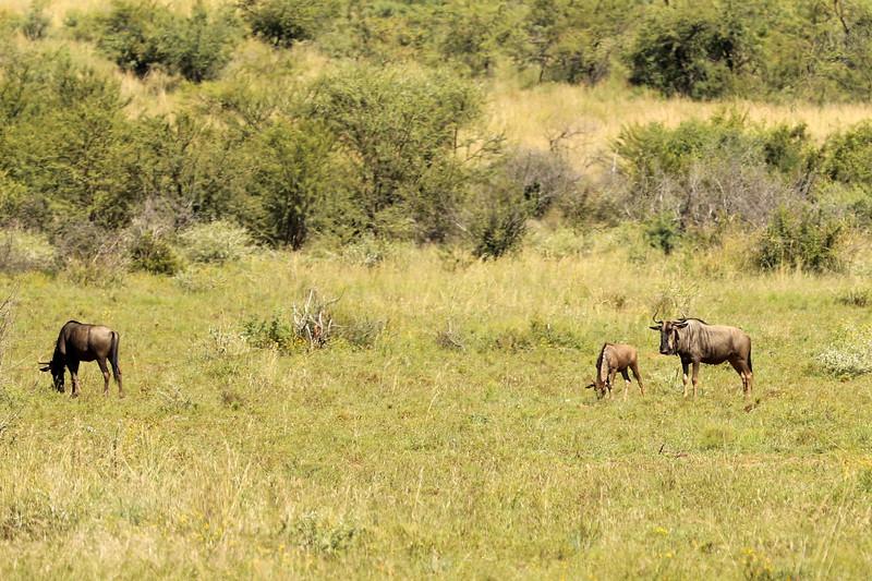 Blue Wildebeast, Pilanesberg National Park, South Africa
