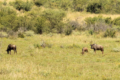 Blue Wildebeast, Pilanesberg National Park, South Africa