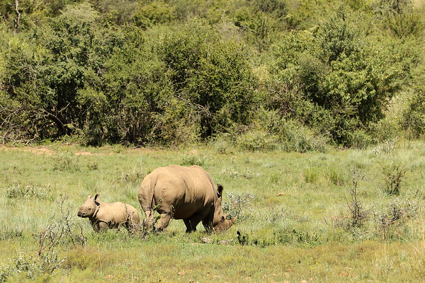 White Rrhinoceros, Pilanesberg National Park, South Africa