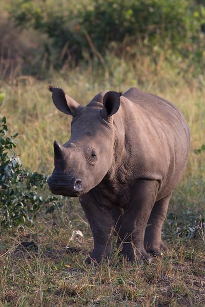 White Rhino - Hluhluwe Game Reserve