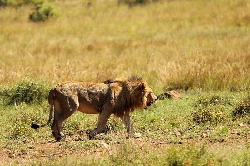Lion, Pilanesberg National Park, South Africa