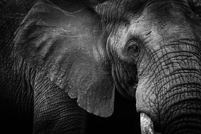 Black and white elephant, Kruger National Park