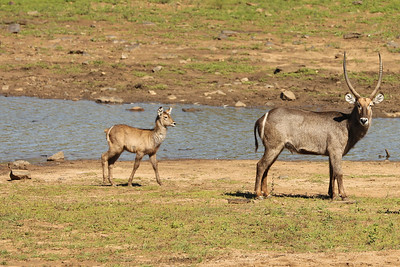 Waterbuck, Pilanesberg National Park, South Africa