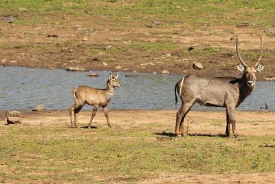 Waterbuck, Pilanesberg National Park, South Africa
