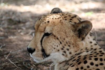 Young cheetah at Emdoneni Lodge