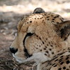 Young cheetah at Emdoneni Lodge