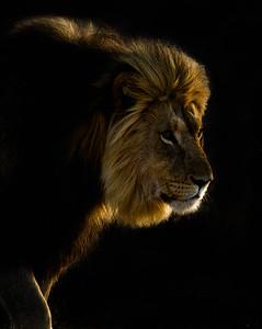Back-lit lion at sunrise, Kalahari Desert