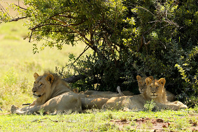 Lions, Pilanesberg National Park, South Africa