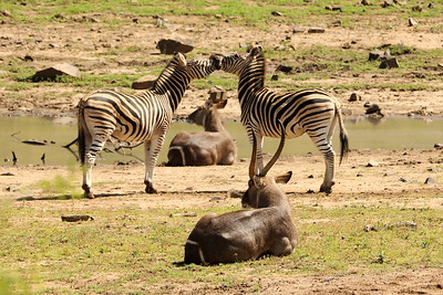 Zebra & Impala, Pilanesberg National Park, South Africa