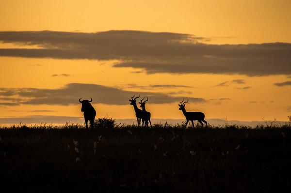 Animals Watching a Lion at Sunset, Kapama