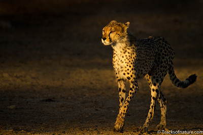 First light on cheetah, Kalahari Desert