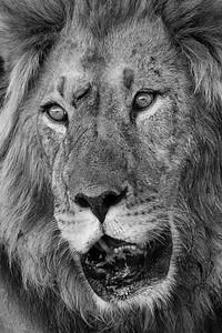 Battle-scarred lion, Kalahari Desert