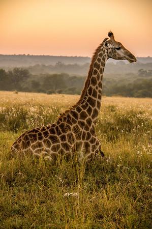 Giraffe at Sunrise, Kapama
