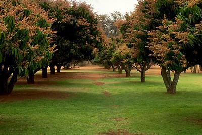 Mango Trees, Hartbeespoort Elephant Sanctuary, Hartbeespoort, South Africa
