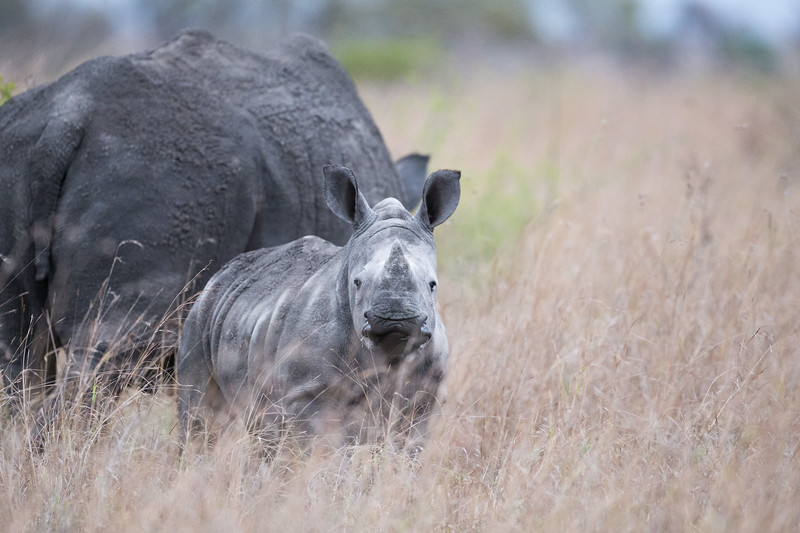 Young Rhino, Londolozi, Sabi Sands Game Reserve, South Africa