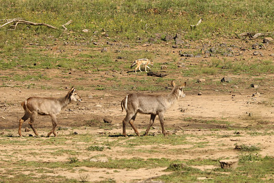 Waterbuck & Jackal, Pilanesberg National Park, South Africa