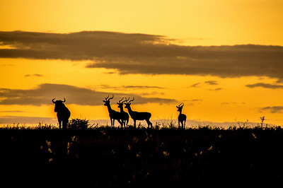 Animals Watching a Lion at Sunset, Kapama